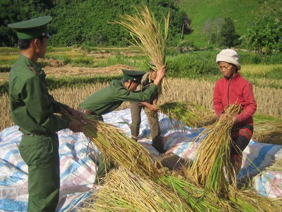 Bộ đội biên phòng giúp dân thu hoạch lúa. Ảnh: M.ĐỨC