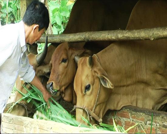 Mô hình chăn nuôi bò thâm canh ở Tiên Sơn bước đầu cho hiệu quả. Ảnh: HƯNG BÌNH