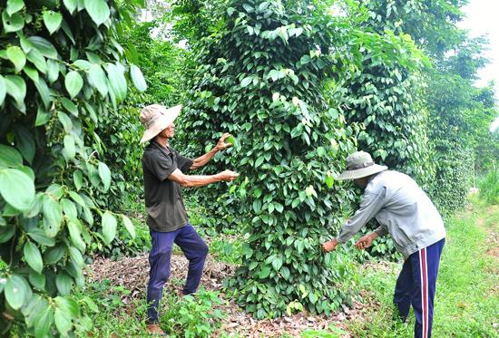 Vườn tiêu của hộ ông Hồ Tiến (thôn Khánh Lộc) phát triển tốt, cho thu nhập hàng chục triệu đồng/năm. Ảnh: VINH ANH