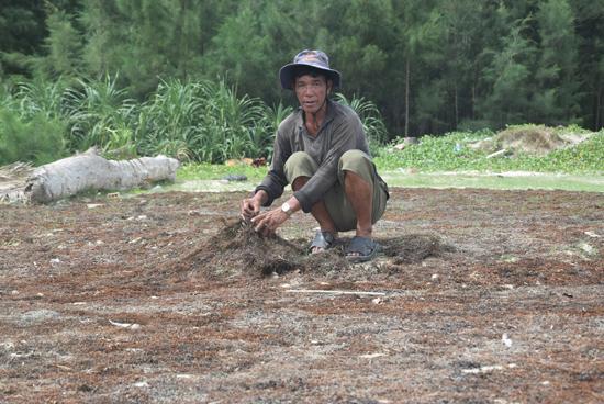 Người dân thôn Thuận An (xã Tam Hải) phơi rong mơ. Ảnh: THẮNG DƯƠNG