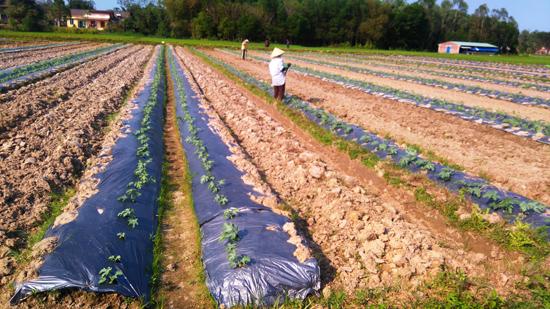 Chuyển đổi đất lúa kém hiệu quả sang trồng cây dưa, cây màu trên cánh đồng xã Tam Phước, Phú Ninh. Ảnh: HOÀNG LIÊN