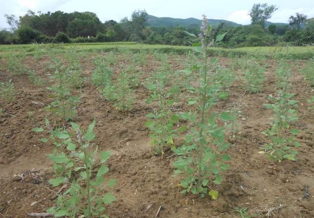 Cây quinoa đang giai đoạn phát triển tại Quảng Nam. Ảnh: H.lL