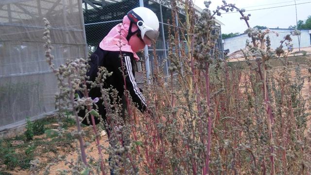 Diện tích cây quinoa sau khi thu hoạch tại Phú Ninh. Ảnh: H.L