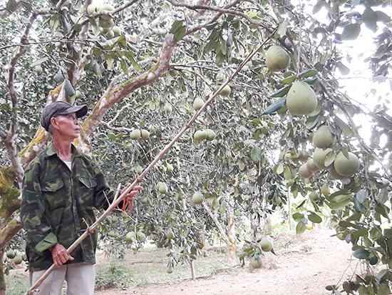 Vườn thanh trà của gia đình ông Phan Văn Song ở thôn 3, xã Tiên Hiệp. Ảnh: HOÀNG - HƯNG
