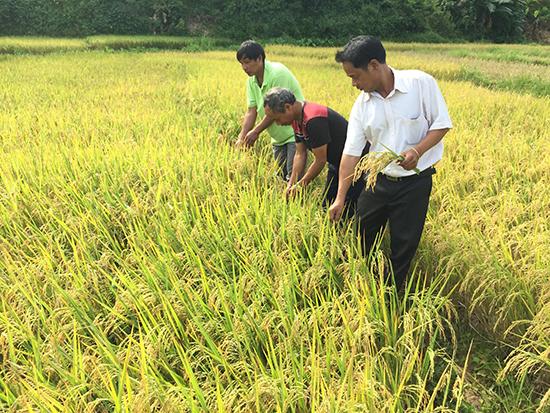 Cánh đồng lúa có sử dụng phân dúi sâu tại thôn Ganil (xã A Xan).
