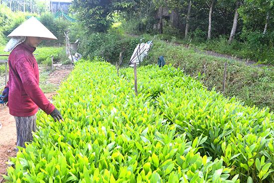 Các cơ sở kinh doanh giống cây lâm nghiệp trên địa bàn tỉnh vẫn còn nhỏ lẻ. Ảnh: V.Q