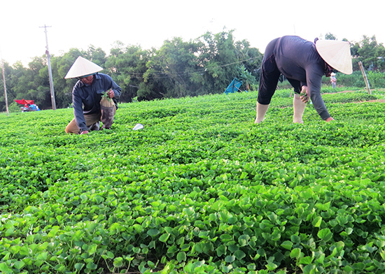 Ruộng rau má đang kỳ thu hoạch của ông Hà Ngọc Phi (xã Điện Minh, Điện Bàn). Ảnh:H.L