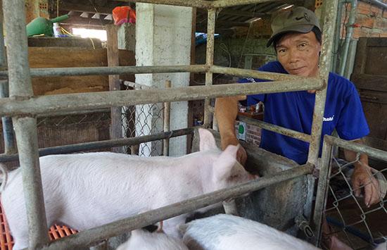 Ông Lương Năm với đàn heo nuôi trên gác lửng trang trại mini.ảnh: Như Trang