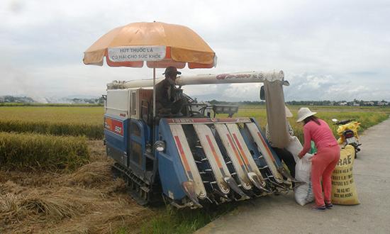 Nhờ đẩy mạnh cơ giới hóa đồng ruộng, những năm gần đây tiến độ thu hoạch lúa ở Quế Sơn diễn ra rất nhanh.Ảnh: N.P