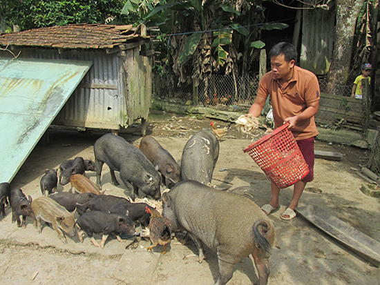 Heo rừng lai, heo đen bản địa được nuôi thả rông với thức ăn hoàn toàn tự nhiên như chuối cây, cám gạo... nên thịt săn chắc và thơm ngon được người tiêu dùng ưa chuộng. Trong ảnh: Anh Truyền cho heo ăn. Ảnh: N.V.B