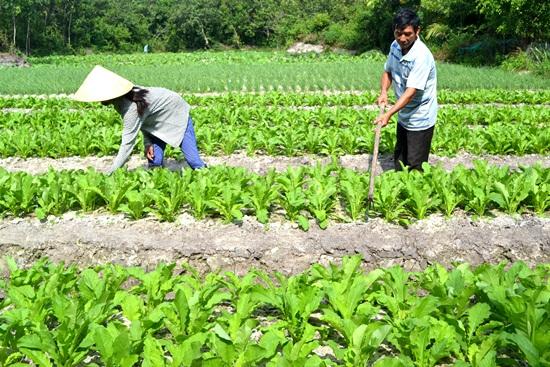 Trồng rau sạch đem lại giá trị kinh tế tương đối lớn với gia đình ông Phạm Hùng. Ảnh: N.Q.Việt