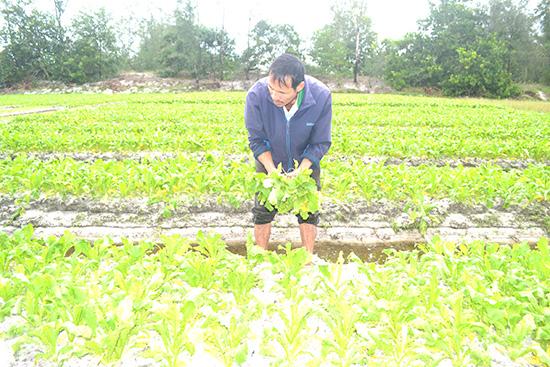 Ông Nguyễn Văn Chữ bên đám cải bị hư hỏng nặng sau mưa lũ. Ảnh: V.Q