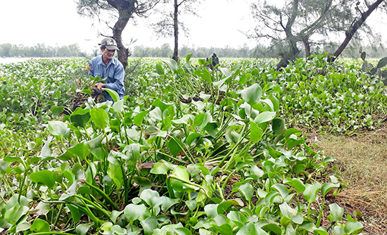 Nông dân xã Bình Sa nỗ lực vớt bèo để cứu đất sản xuất. Ảnh: Biên Thực