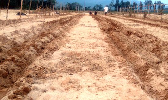 Vùng chuyên canh xã Đại Minh (Đại Lộc) bị cát vùi lấp. Ảnh: HOÀNG LIÊN
