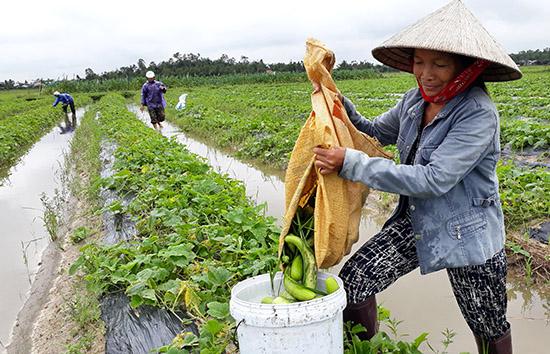 Người dân thôn Thanh Ly 2 đành phải thu hoạch dưa gang non. Ảnh: G.Biên