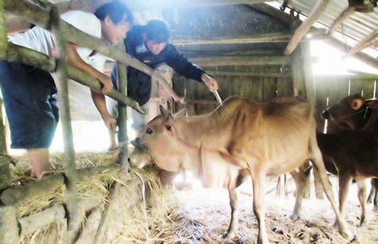 Lực lượng thú y xã Duy Trinh tập trung tiêm vắc xin phòng bệnh lở mồm long móng cho gia súc.Ảnh: HOÀI NHI