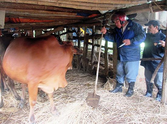 Cuối tuần qua, lực lượng thú y Duy Xuyên tập trung tiêm vắc xin lở mồm long móng cho đàn gia súc ở những nơi có nguy cơ bùng phát dịch. Ảnh: HOÀI NHI