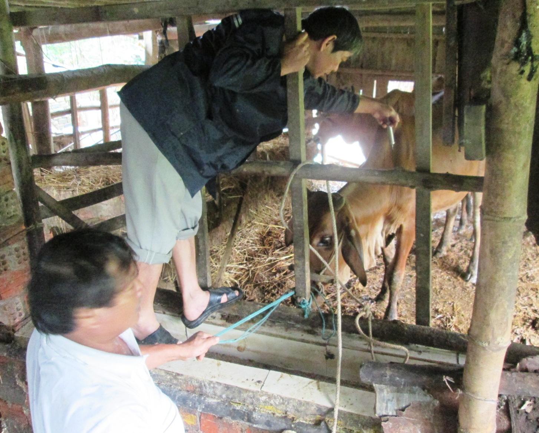 Các địa phương phải chủ động phòng dịch bằng việc tiêm triệt để vắc xin LMLM đợt 2 năm 2017 cho đàn trâu, bò.