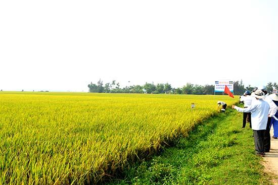 Sản xuất lúa hàng hóa ở xã Bình Đào (Thăng Bình). Ảnh: N.Q.V