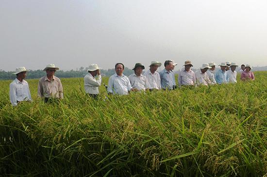 Hiện nay, Quế Sơn đã hình thành được nhiều cánh đồng mẫu chuyên sản xuất giống lúa hàng hóa. Ảnh: N.PHƯƠNG