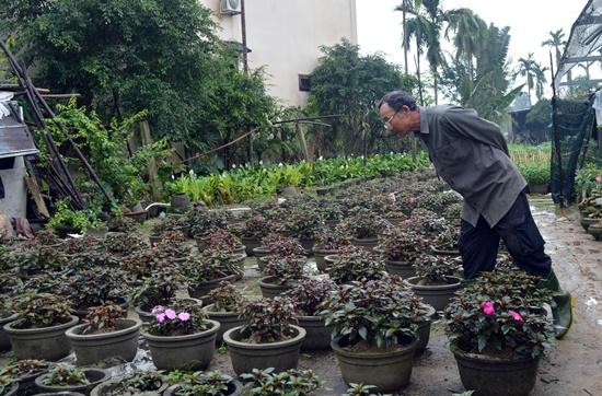 Các chủ vườn hoa Hội An đang lo lắng vì thời tiết thất thường