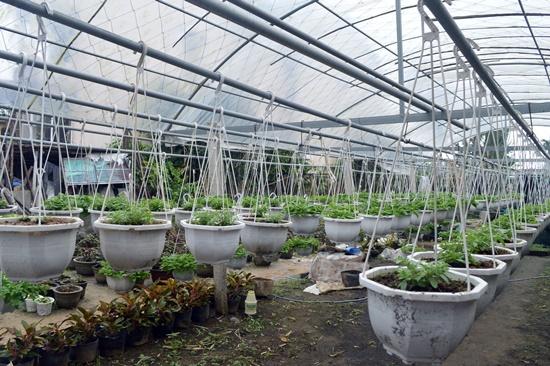 Hoa dạ yến thảo đang được các chủ vườn  tích cực chăm sóc để kịp tết