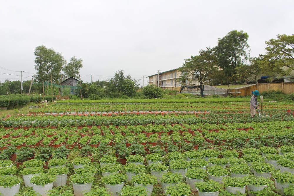 -ảnh 2:  Vườn hoa cảnh của anh Huỳnh Tấn Đồng, xã Duy Trung, Duy xuyên