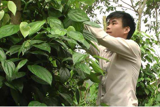 Anh Cao Quốc Huy đang chăm sóc vườn tiêu của gia đình.