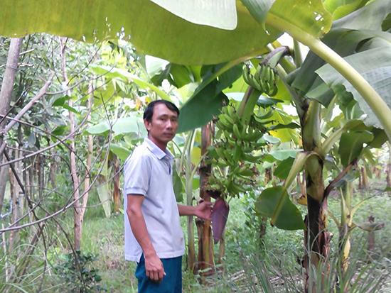 Nhiều vườn chuối ở huyện Nông Sơn mất mùa do thời tiết mưa lạnh kéo dài.