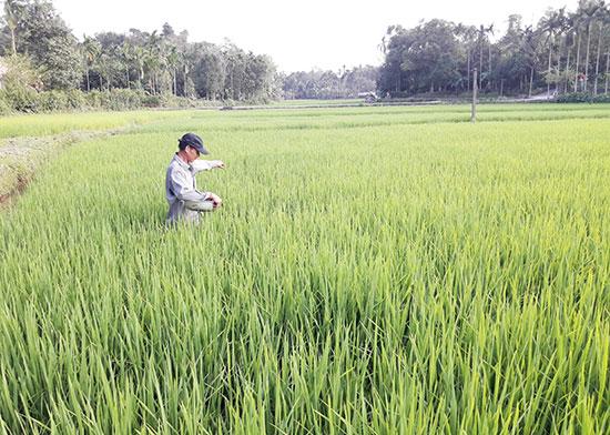 Ngay từ những ngày đầu năm mới Mậu Tuất bà con nông dân đã ra đồng bón phân, chăm sóc lúa.Ảnh: P.HOÀNG