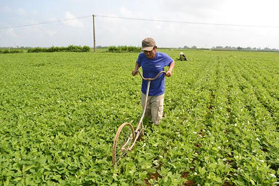 Vùng chuyên canh cây đậu phụng tại thôn Phú Đông (xã Điện Quang). Ảnh: CÔNG TÚ