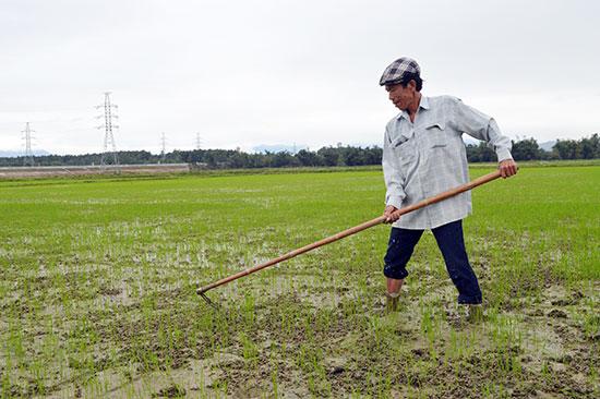 Nông dân thôn Đông Hòa, Điện Thọ đã tham gia mô hình trồng lúa hữu cơ.Ảnh: KHÁNH LINH