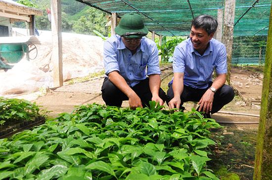 Sâm và một số cây dược liệu khác là thế mạnh trong phát triển NNCNC trên địa bàn tỉnh.  (Ảnh: Huyện Nam Trà My cung cấp).