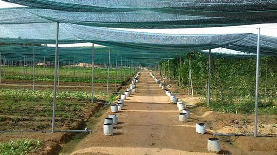 Trước khi phát triển nông nghiệp công nghệ cao, tại xã Tam Đàn (Phú Ninh) đã xây dựng mô hình sản phẩm nông nghiệp hữu cơ rất thành công. Ảnh T.H