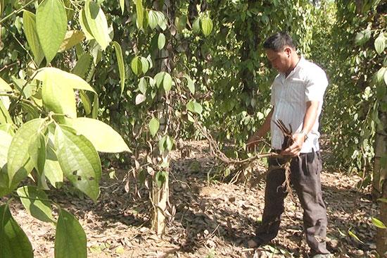 Nhiều cây tiêu bắt đầu vàng lá và chết dần, nông dân xã Bình Quế đang phá bỏ.Ảnh: Biên Thực