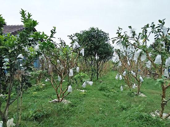 Một góc vườn ổi lê của gia đình bà Nguyễn Thị Anh. Ảnh: HỒ HẰNG