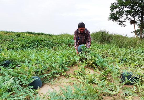 Ông Huỳnh Hạnh (thôn Thọ Xuyên, Duy Châu) phấn khởi khi dưa được mùa, được giá. Ảnh: TRIÊU NHAN