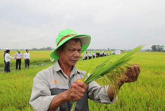 Tham quan mô hình sản xuất trình diễn giống lúa thuần TBR279 tại xã Duy Thành vào sáng qua 18.4. Ảnh: VĂN SỰ