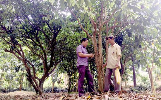 Đầu tư kinh tế vườn thu nhập hàng chục triệu đồng mỗi tháng. Ảnh: PHAN VINH