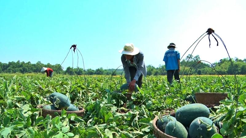 Nông dân Phú Ninh đang phấn khởi vì dưa hấu Kỳ Lý đạt chất lượng và có giá bán cao ngay từ đầu vụ mùa. Ảnh: ĐOÀN ĐẠO