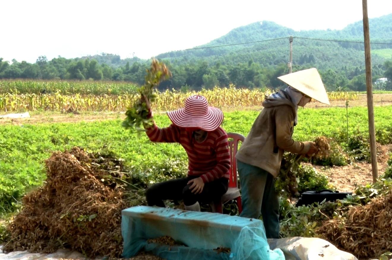 Tranh thủ những ngày nắng, người thu hoạch rồi lặt đậu phụng ngay tại ruộng để phơi. Ảnh: VINH THÔNG