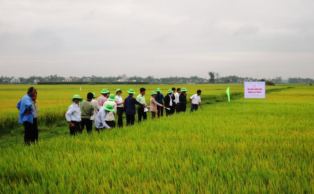 Vụ đông xuân này, nhiều vùng sản xuất lúa giống hàng hóa đạt năng suất khá cao. Ảnh: VĂN SỰ