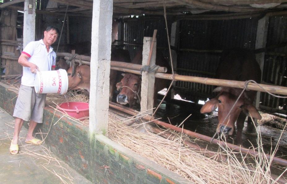 Do giá bán sản phẩm thấp nên thời gian qua tổng đàn bò của tỉnh giảm 3.800 con. Ảnh: VĂN SỰ