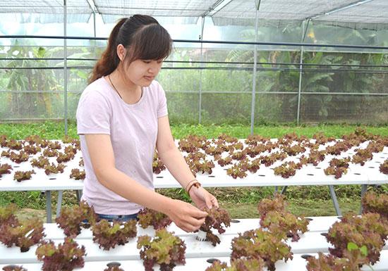 Mô hình trồng rau xà lách tím của gia đình ông Bùi Thanh Cưỡng (phường Điện Ngọc) .  Ảnh: C.TÚ