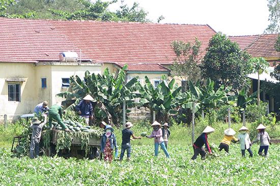 Thu hoạch dưa trên đồng giữa trưa nắng gắt. Ảnh: LÊ QUÂN