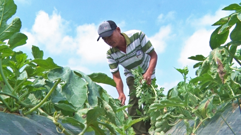Canh tác 6 sào đất theo Dự án WB7 nông dân Mai Văn Phú đánh giá việc sản xuất có hiệu quả hơn phương thức canh tác truyền thống. Ảnh: ĐẠO CÔNG