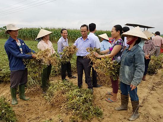 """Nông dân trồng đậu phụng ở Điện Quang (Điện Bàn) được bao tiêu sản phẩm để sản xuất dầu phụng """"Xứ Quảng"""". Ảnh: Q.T"""