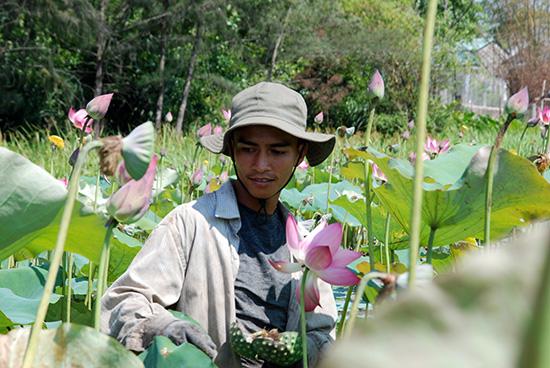 Anh Nguyễn Văn Linh – con trai ông Thanh đang thu hoạch hạt sen trong ruộng. Ảnh: Hồ Quân