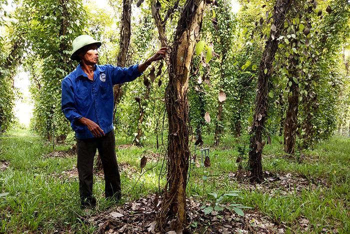 Vườn tiêu của ông Nguyễn Văn Hùng bị khô lá rồi chết dần. Ảnh: THANH THẮNG