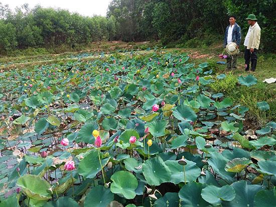 Mô hình trồng sen kết hợp thả cá trên đất lúa ở Duy Phú cho thu nhập cao. Ảnh: H.L
